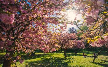 Cerisiers-en-fleurs-Paris-Île-de-France