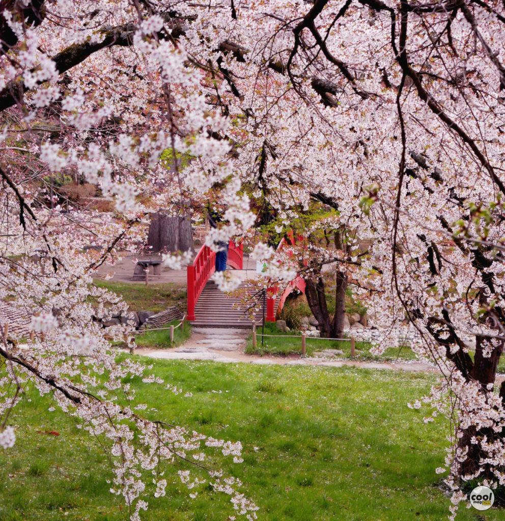Cerisiers en fleurs Paris Île-de-France2